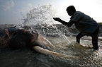 Elephant being washed by mahout, Andamans, India