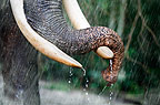 Indian elephant in the rain, Andaman Islands, India