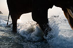 Indian elephant walking in the sea, Andamans.