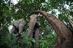 Indian elephants in the forest, Andaman Islands, India.