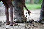 Indian elephant chained by mahout, Andaman Islands