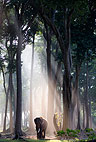 Indian elephant in forest, Andaman Islands