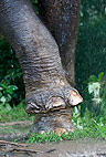Indian elephant foot, Andaman Islands