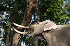 Indian elephant lifting large branch, Andaman Islands