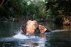 Indian elephant swimming, Andaman Islands