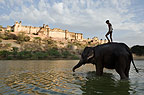 Indian elephant wading, Jaipur, India