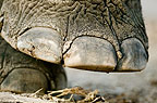 Indian elephant's foot.