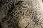 Close-up of Indian elephant's behind, Andamans, India