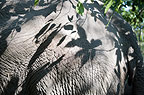 Indian elephant skin with shadows from tree, Andaman Islands