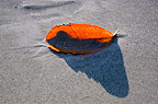 Leaf on a sandy beach, Andaman Islands