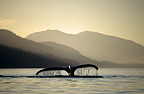 Humpback Whale sounding, Chatham Straits, Southeast. Alaska