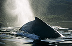 Humpback Whale surfacing and blowing, Tenakee Inlet, Southeast Alaska