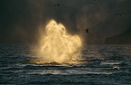Humpback Whale blowing, Tenakee Inlet, South East Alaska