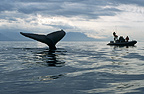 Humpback Whale sounding, watched by researchers, Alaska