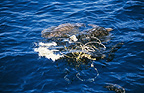 Two olive ridley sea turtles entangled in fishing net, off coast of Sri Lanka