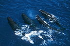 A pod of Sperm whales, Sri Lanka