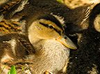 Mallard ducklings, Hever Castle, UK