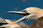 Gannets calling, Bass Rock, UK
