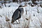 Grey Heron standing in the snow, WWT London Wetland Centre, UK