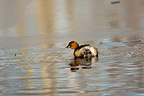 Little Grebe fishing at the WWT London Wetland Centre, UK