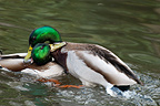 Male Mallards fighting, WWT London Wetland Centre, UK