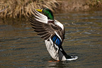 Mallard flapping, WWT Arundel Wetland Centre, UK