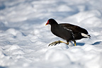 Moorhen walking in the snow, WWT London Wetland Centre, UK