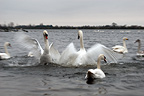 Mute Swans fighting, WWT Welney Wetland Centre, UK