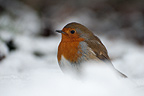 Eurasian Robin in the snow, Kew Gardens, UK