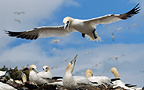 Gannet flying over colony, Bass Rock, UK