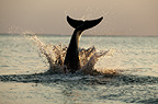 Bottlenose Dolphin splashing into the water at sunset, Honduras