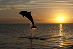 Bottlenose Dolphin at sunset, Honduras