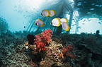 Panda butterflyfish with jetty in background.  Misool, Raja Empat, West Papua, Indonesia.