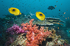 Bennett's butterflyfish swimming over soft corals on reef.  Misool, Raja Empat, West Papua, Indonesia.