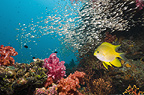 Golden damsel over coral reef with soft corals and sweepers in the background.  Andaman Sea, Thailand.