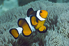 Clown anemonefish.  Misool, Raja Ampat, West Papua, Indonesia.