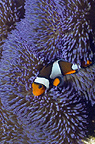 Clown anemonefish with blue variety of anemone.  Misool, Raja Ampat, West Papua, Indonesia.