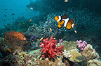 Clown anemonefish and Coral hind over coral reef with soft corals.  Andaman Sea, Thailand.