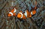False clown anemonefish, larger female with male.  Papua New Guinea.