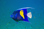 Yellowbar angelfish.  Egypt, Red Sea.