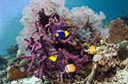 Bicolor angelfish and Klein's butterflyfish with gorgonian and purple encrusting sponge on coral reef.  Misool, Raja Ampat, West Papua, Indonesia.