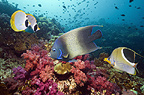 Semicircle angelfish, a Saddled butterflyfish and Panda butterflyfish over coral reef with soft corals.  Misool, Raja Ampat, West Papua, Indonesia.