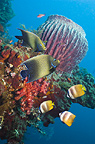 Semicircle angelfish and klein's butterflyfish with Barrelsponges growing on wreck The Liberty.  Bali, Indonesia.