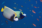 Emperor angelfish.  Andaman Sea, Thailand.  Indo-Pacific.