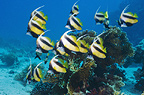 Red Sea bannerfish.  Egypt, Red Sea.