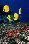 Golden butterflyfish with Lyretail anthias or Goldies over coral reef.  Egypt, Red Sea.