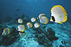 Panda butterflyfish over coral reef.  Andaman Sea, Thailand.