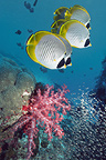 Panda butterflyfish swimming over soft corals on coral reef.  Andaman Sea, Thailand.