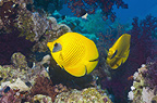 Golden butterflyfish on coral reef.  Egypt, Red Sea.