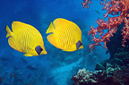 Golden butterflyfish with soft coral on reef.  Egypt, Red Sea.